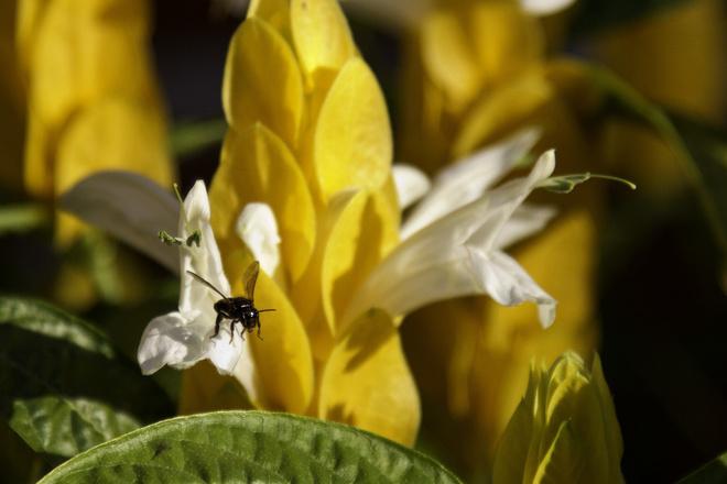 У пахистахиса желтые цветки