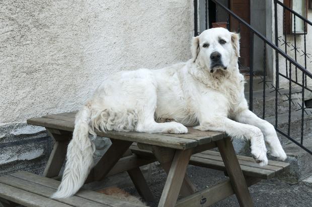 Пиренейскаягорная собака фото