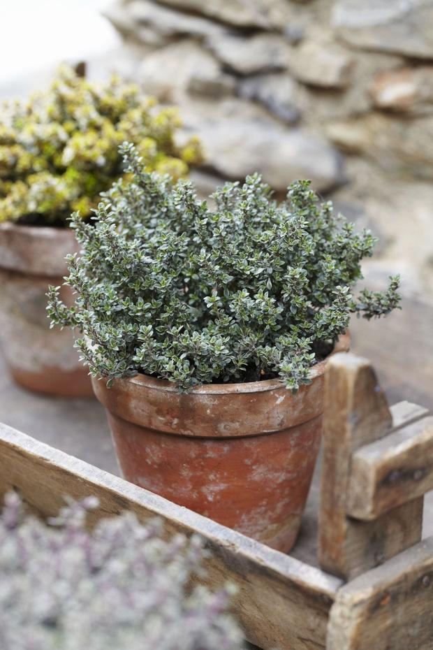 Фото №9 - 8 модных средиземноморских растений для балкона и патио