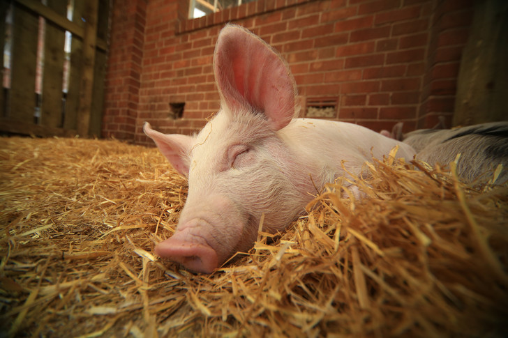 Фото №1 - Когда будут реабилитированы свиньи?