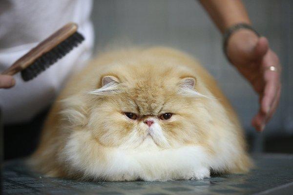 Фото №1 - В Кемерово пройдет международная выставка кошек