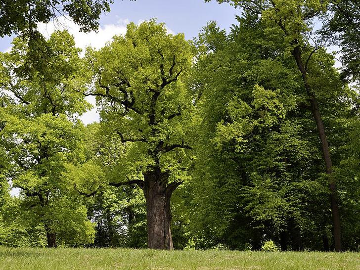 Фото №7 - Деревянные выборы: самые интересные деревья мира