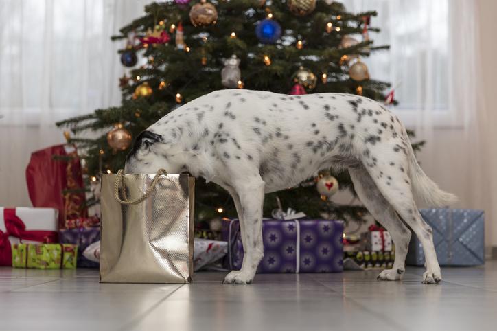 Фото №2 - Что делать, если собака боится петард и салютов
