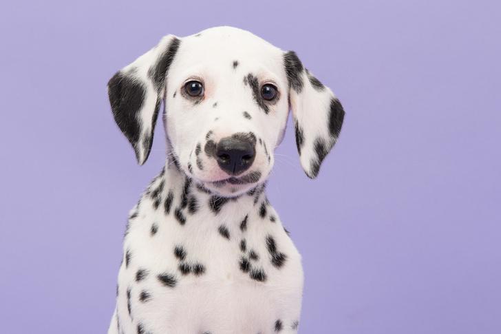 Фото №1 - Почему далматины— «каретные собаки»?