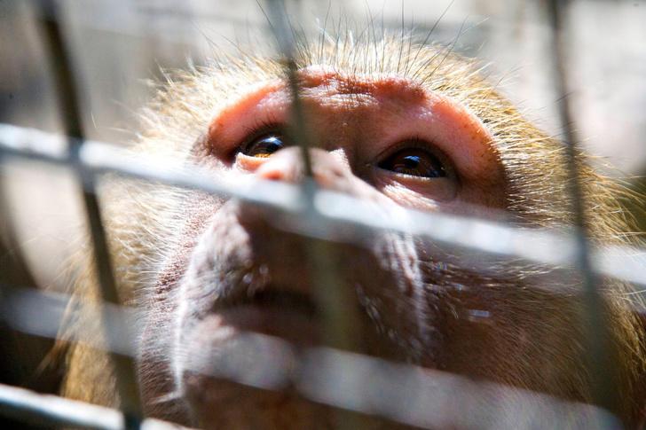 Фото №1 - В Китае не хватает лабораторных обезьян