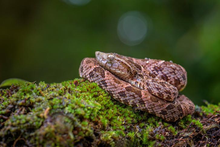 Фото №1 - Из змеиного яда создали мгновенно останавливающий кровотечение «суперклей»