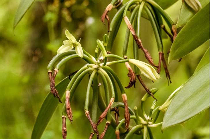 Фото №9 - Живут по всему миру, цветут под землей и умеют изощренно обманывать: 5 удивительных фактов об орхидеях