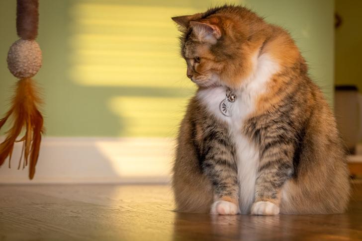 Порода маленьких кошек со средней длиной шерсти