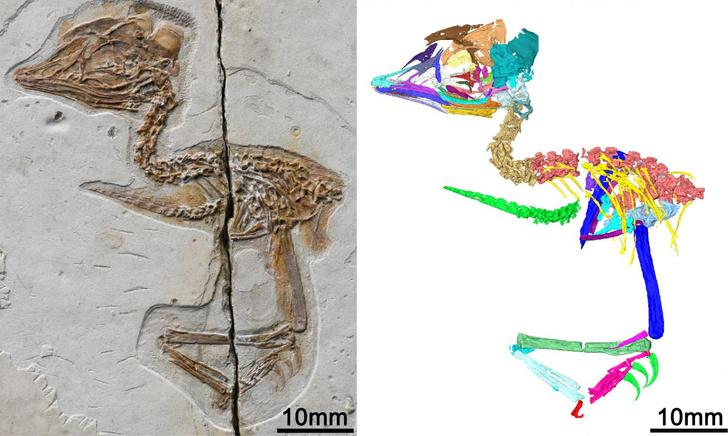 Фото №1 - В Китае нашли останки птицы с головой динозавра
