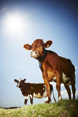 Фото №3 - К чему снится корова или бык: что говорят сонники и психологи