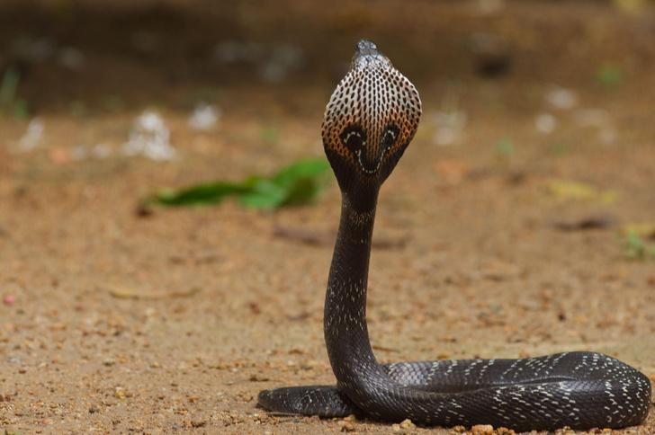 Фото №10 - Работа убивает: 5 герпетологов, которые не пережили укус змеи