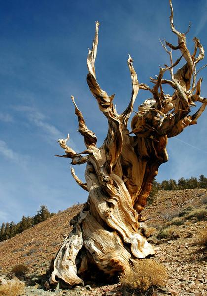 Фото №4 - 9 самых старых деревьев планеты