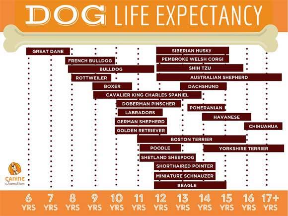 Фото №13 - 5 пород собак-долгожителей и 5 самых недолговечных