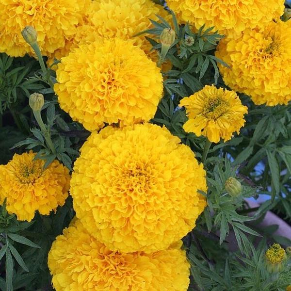 Фото №24 - Какие цветы посадить на балконе, чтобы цвели все лето