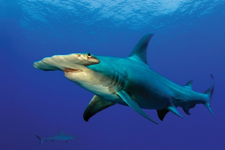 Фото №1 - Акулы разных видов научились охотиться «посменно», чтобы не мешать друг другу