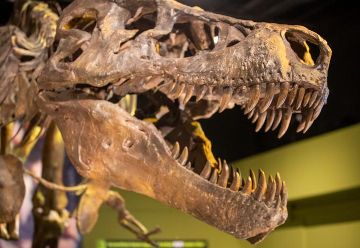 Фото №1 - Палеонтологи определили силу укуса молодого тираннозавра