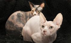 Кошка эльф: внешний вид, характер и уход
