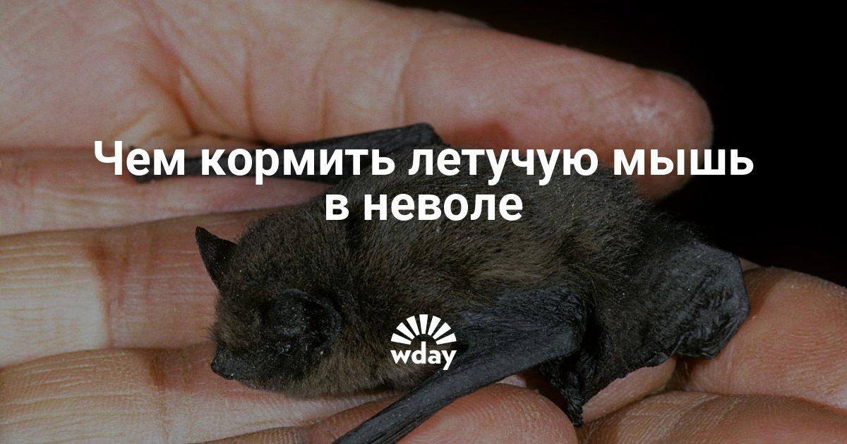 Летучие мыши для домашнего содержания