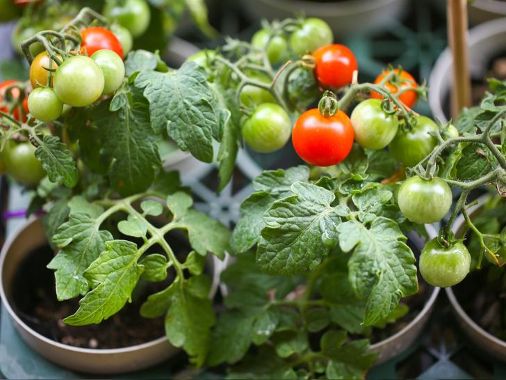 Фото №5 - Домашний огород: 5 овощей, которые вы можете вырастить на подоконнике