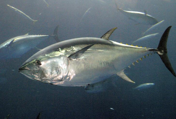 Фото №1 - Редкий вид тунца впервые замечен в Приморье