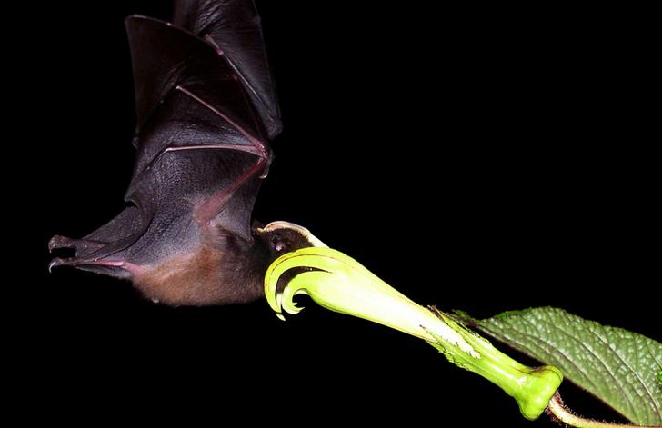 Фото №5 - Ужас, летящий на крыльях ночи: 7 самых необычных летучих мышей