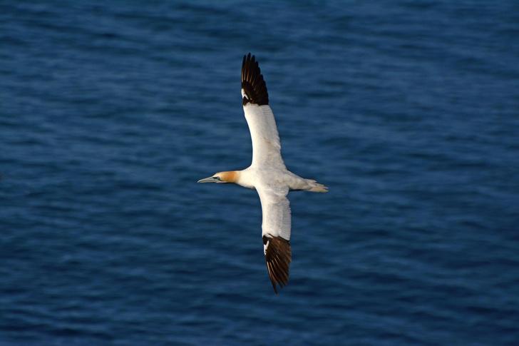 Фото №1 - Черные крылья помогают морским птицам дольше оставаться в воздухе