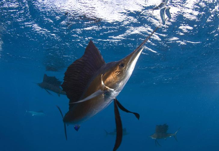 Фото №1 - Какая рыба самая быстрая?