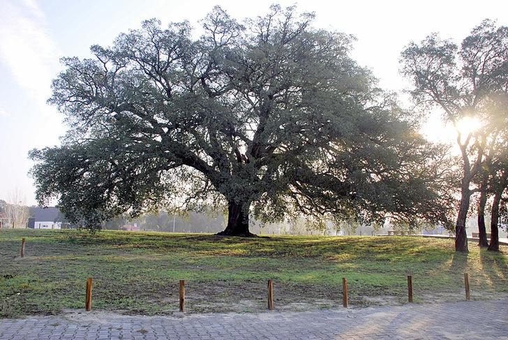 Фото №8 - Деревянные выборы: самые интересные деревья мира