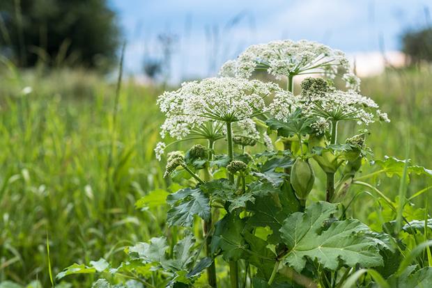 Фото №1 - Опасная ботаника: от каких растений стоит держаться подальше