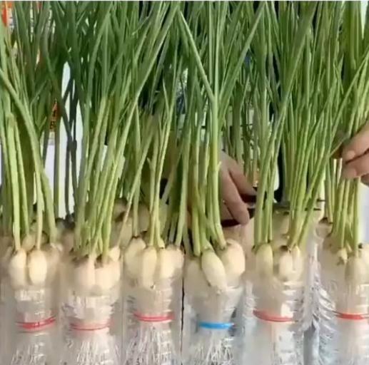 как вырастить чеснок, стрелки чеснока