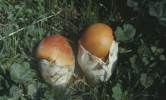 Рецепты приготовления царского гриба