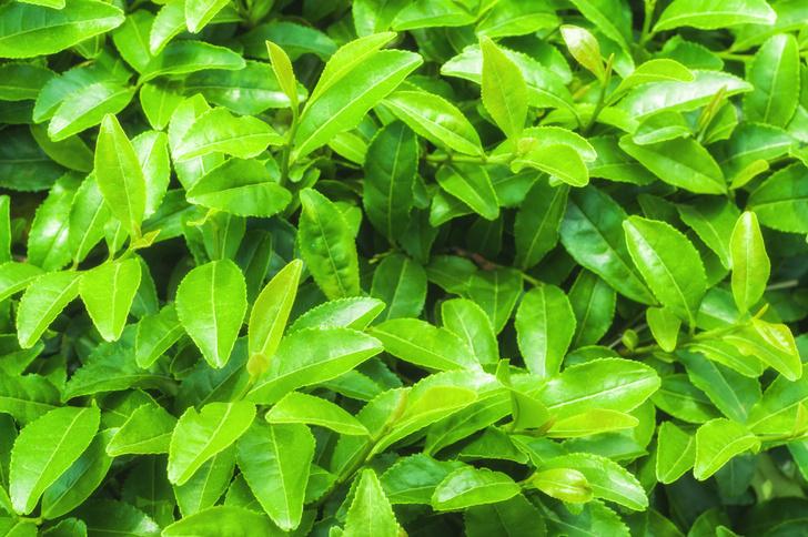 Фото №1 - Ученые проверяют пользу зеленого чая при коронавирусе