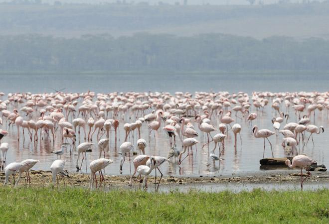 Фламинго видео