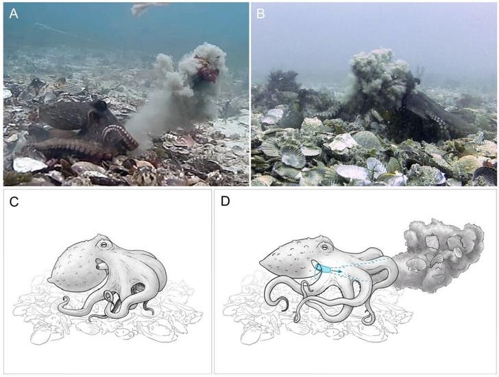 Фото №1 - Ученые узнали, как самки осьминогов отваживают поклонников
