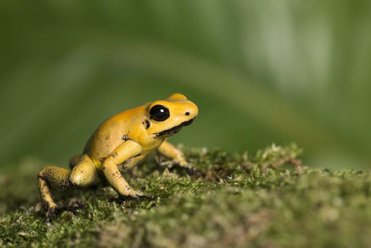Фото №1 - Ученые открыли белок, который защищает ядовитых лягушек от самоотравления