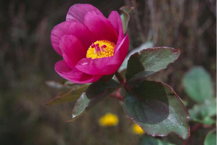 Фото №5 - Дикий соперник розы: где в России найти одно из самых красивых лекарственных растений