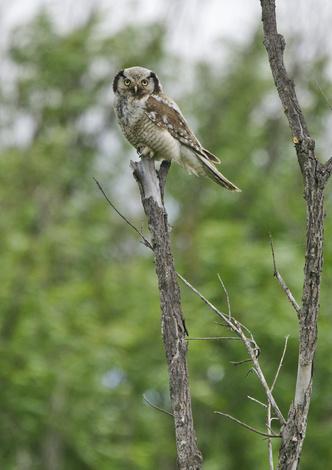 Фото №4 - Властелины ночи: почему совы не то, чем кажутся?
