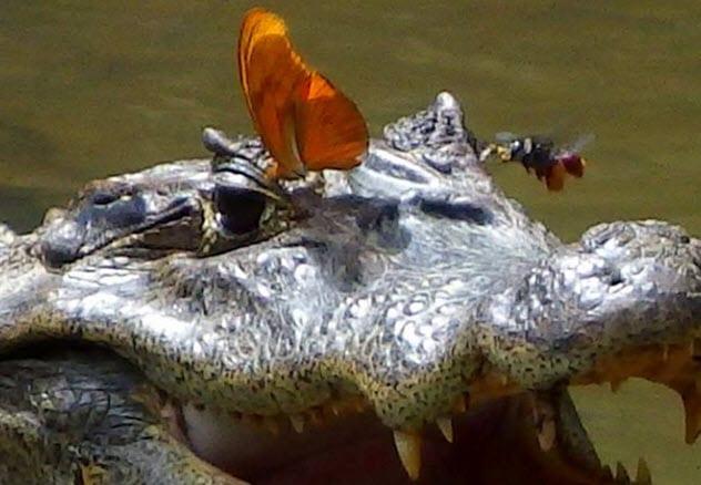 Фото №2 - 5 трогательных фактов про крокодилов