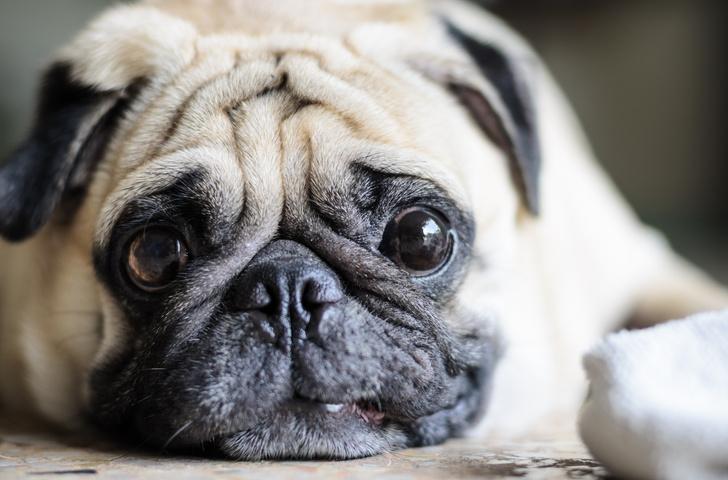 Фото №1 - Топ-15 самых популярных в России пород собак