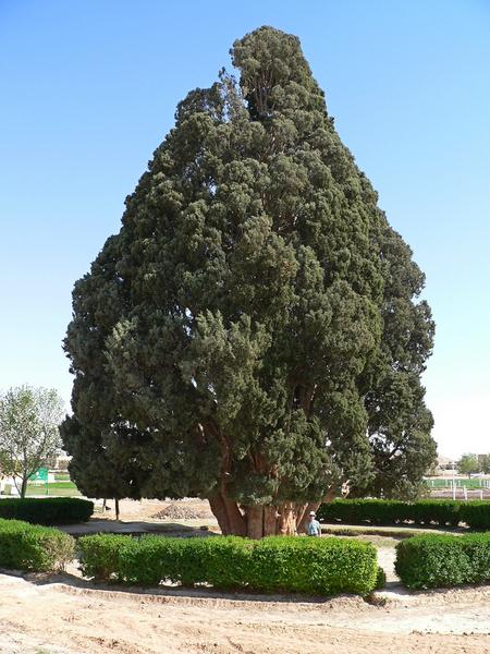 Фото №9 - 9 самых старых деревьев планеты