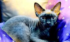Кошка девон-рекс: особенности внешности и характера