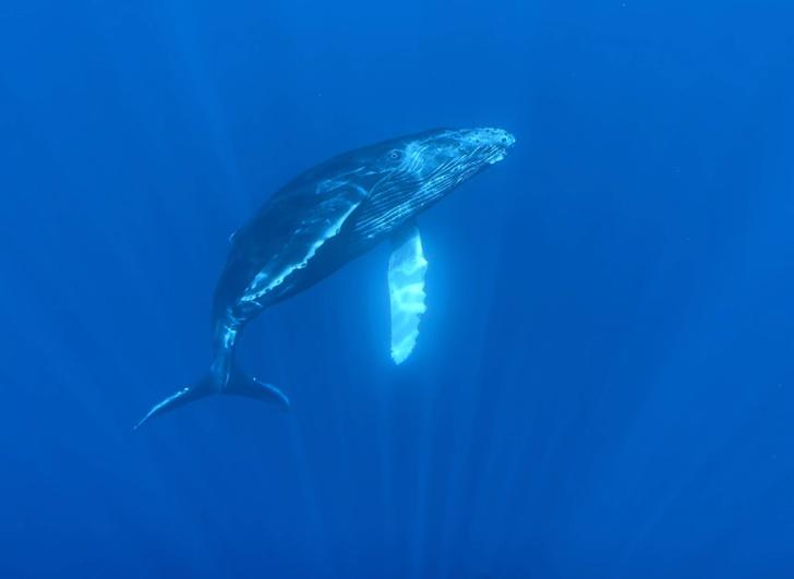 Фото №1 - Что позволяет китам выдерживать давление больших глубин?