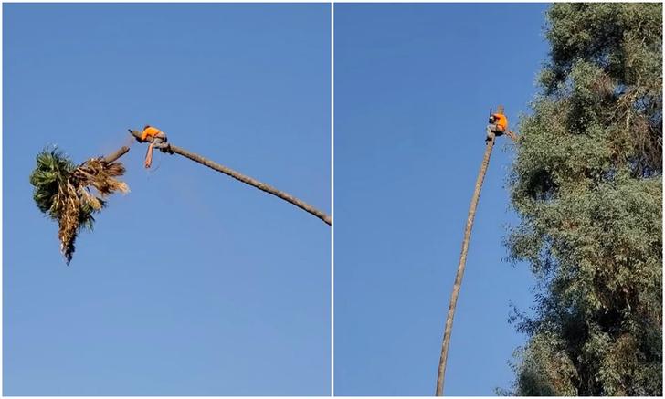 Фото №1 - Сцена из «Тома и Джерри» в реальной жизни: приключения садовника на верхушке 30-метровой пальмы (видео)