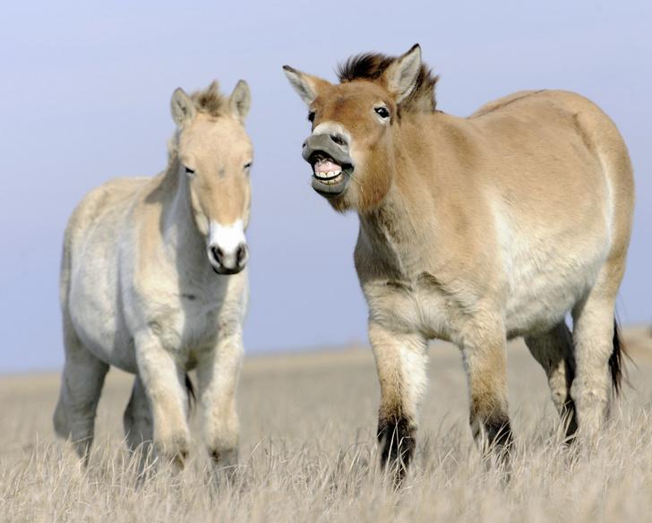 Фото №1 - Лошадь, которой нет: как возрождали исчезающих лошадей Пржевальского. Проект РГО
