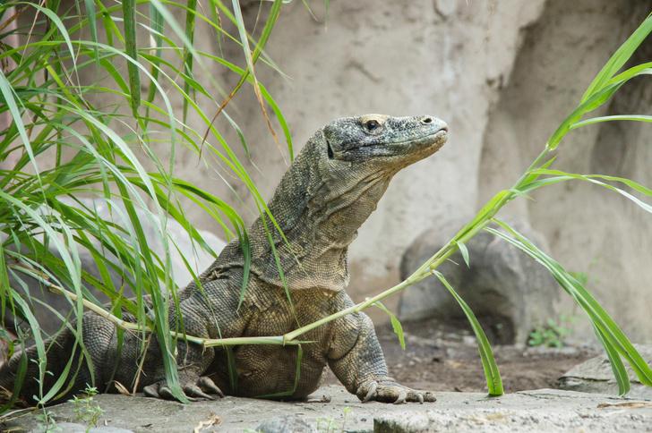 Фото №1 - Комодский варан признан вымирающим видом