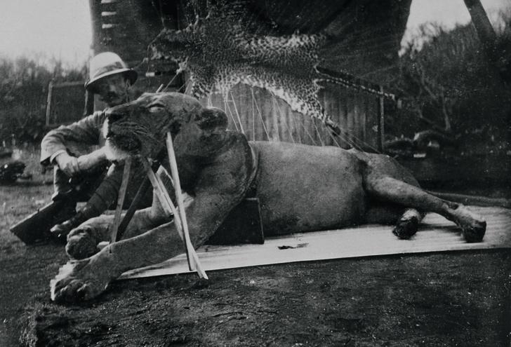 Фото №10 - Кровожадная история самого знаменитого в истории противостояния между человеком и львом