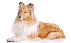Колли - пастушья собака, которая входит в рейтинг самых умных пород.