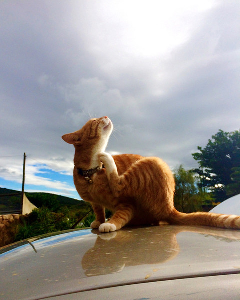 чешется кошка