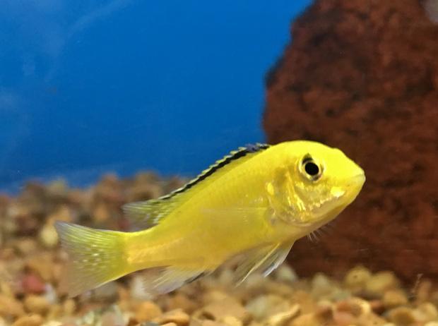 рыба неон
