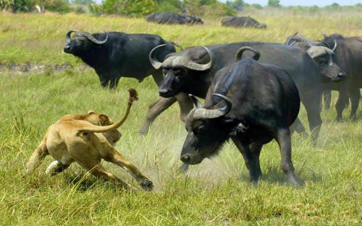 Фото №3 - 7 животных, которые могут убить льва